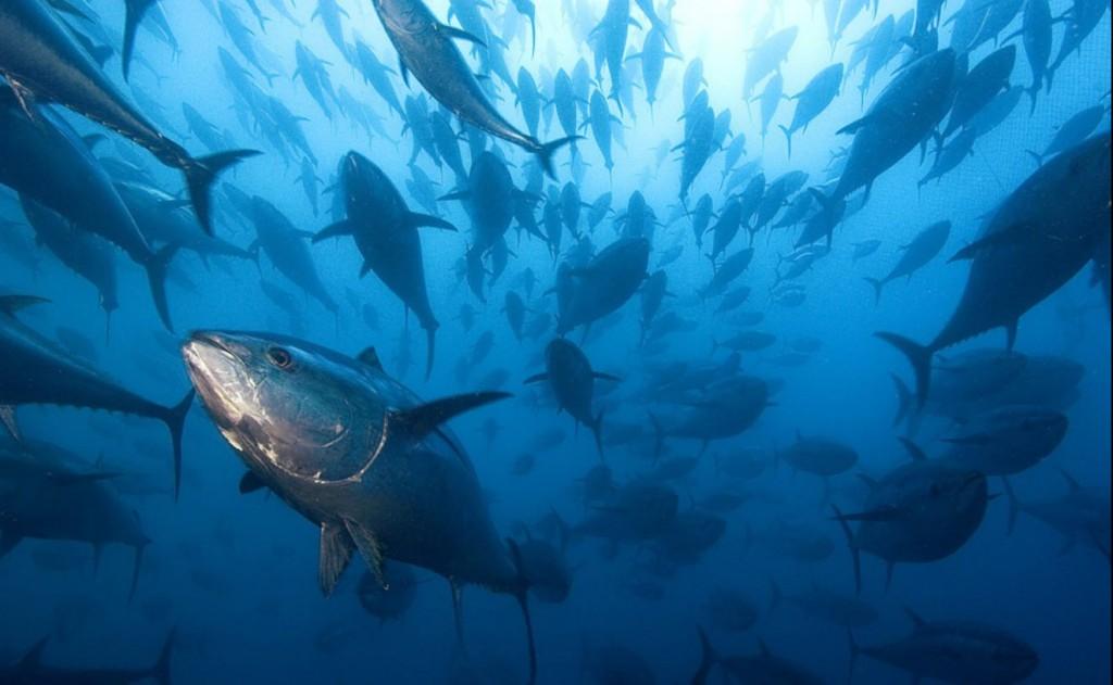 Pesca: la guerra del tonno rosso, la Sicilia impugna il decreto di Stato