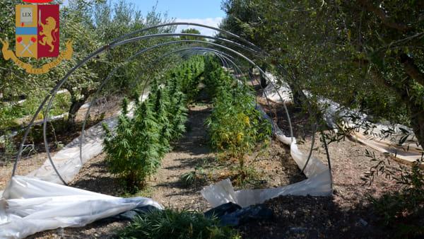 Nei tunnel 250 piante di cannabis indica, marito e moglie arrestati a Licata