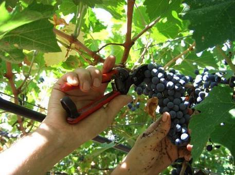 In sette mesi imbottigliati 50 milioni di vini Doc Sicilia