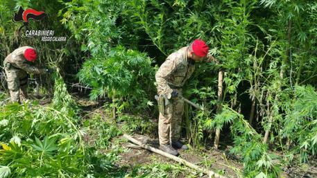 Duecento piante di marijuana in terreno demaniale, 4 arresti a Villa San Giovanni