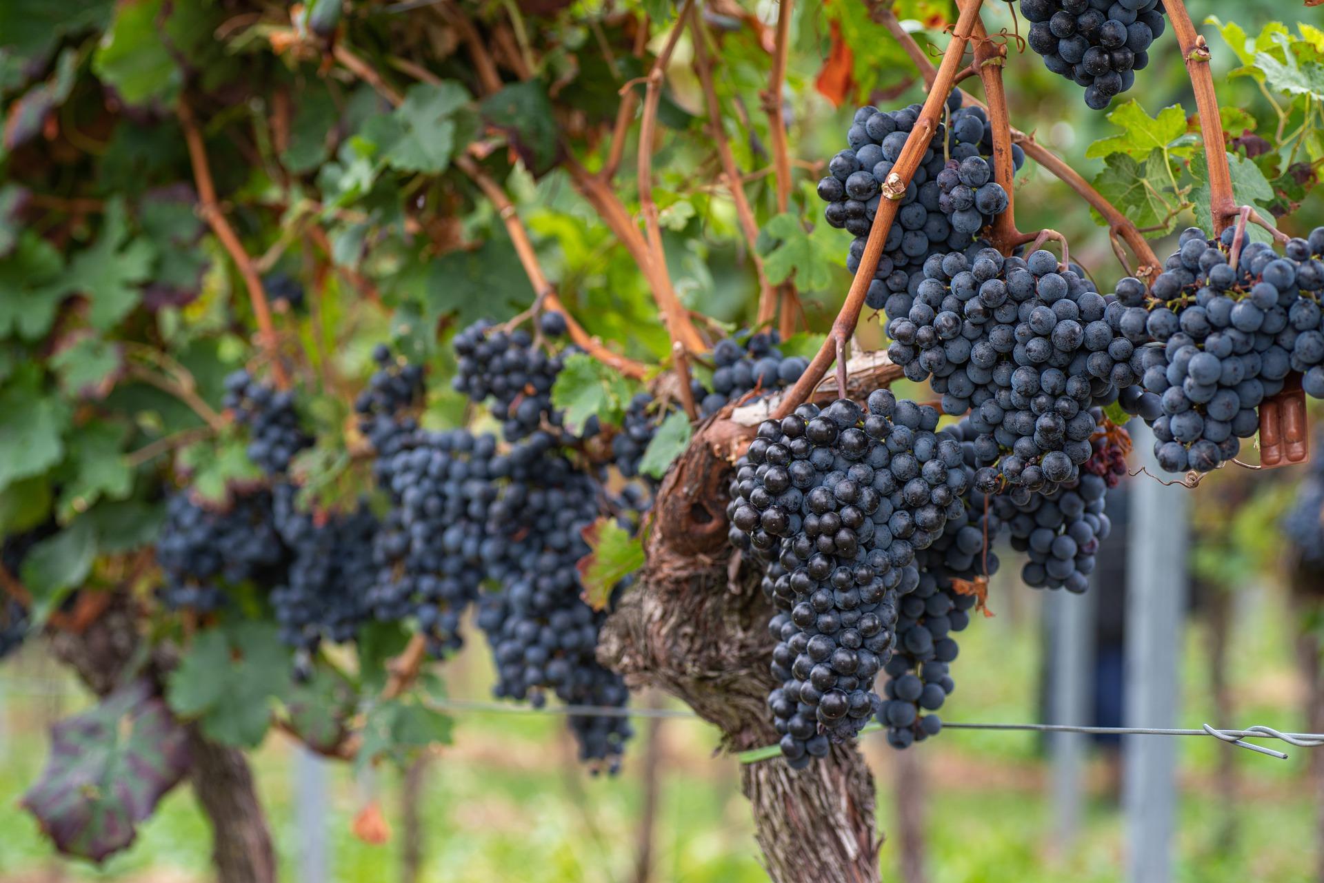 Vendemmia 2019: l'andamento del vino italiano e della produzione siciliana