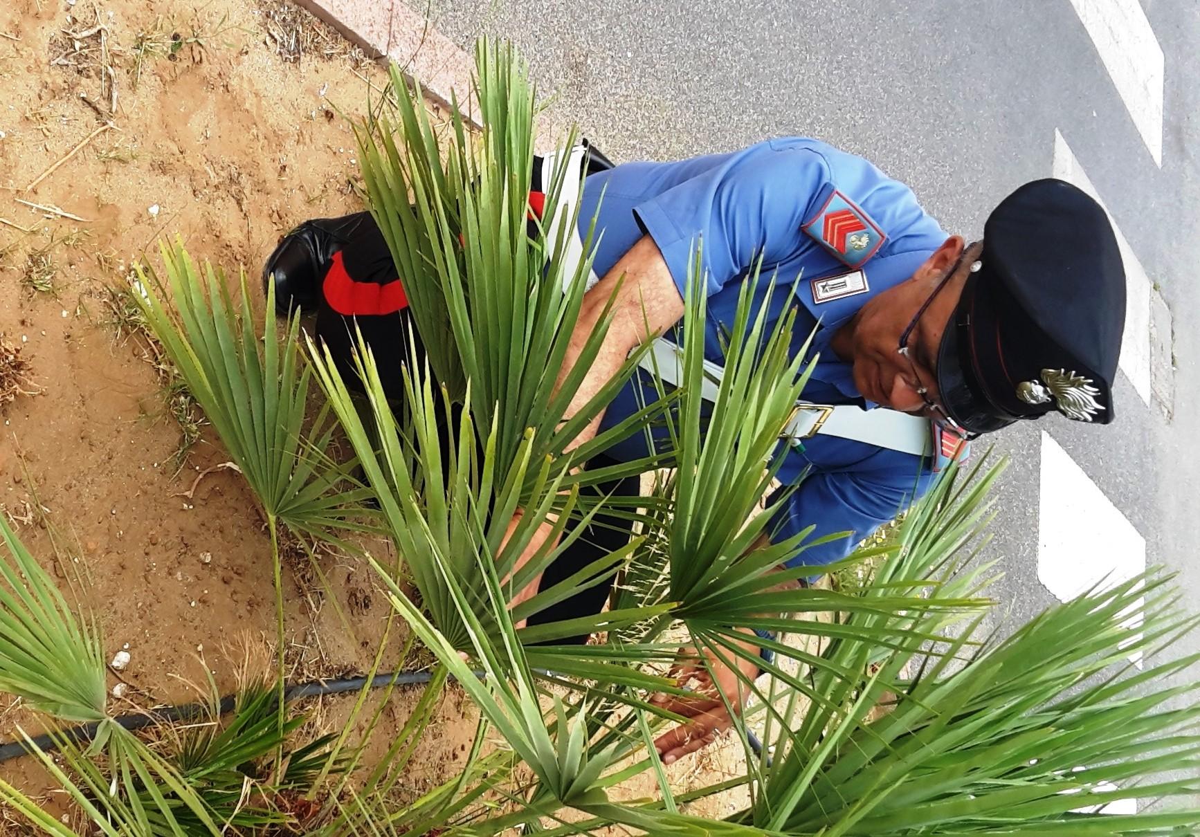 Vittoria, nascondeva la droga nella corteccia di una palma: arrestato
